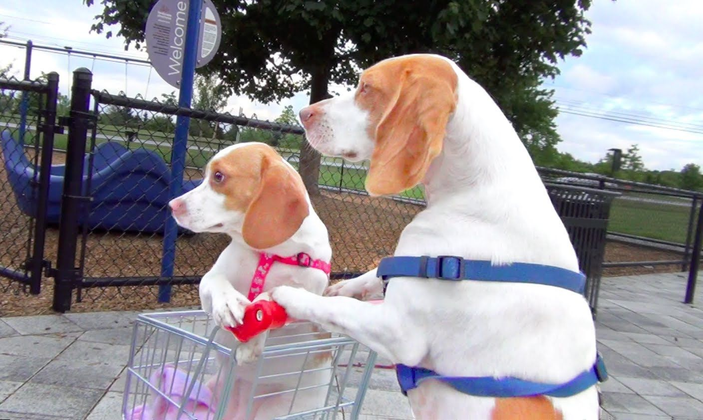 Dog Pushes Puppy In A Tiny Shopping Cart To Their Favorite Summer