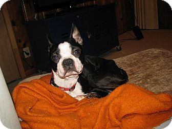 Nashville Tn Boston Terrier Meet Luca A Dog For Adoption