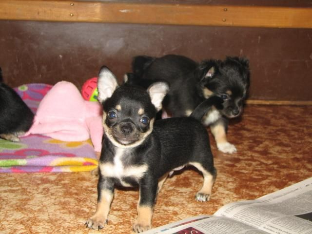 Chihuahua Puppies For Sale Laval Dogs Puppies Chihuahua