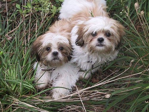 Male Shih Tzu For Sale For Sale Philippines Find New And Used