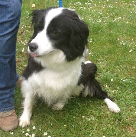 Jingle 7 Year Old Female Border Collie Dog For Adoption At