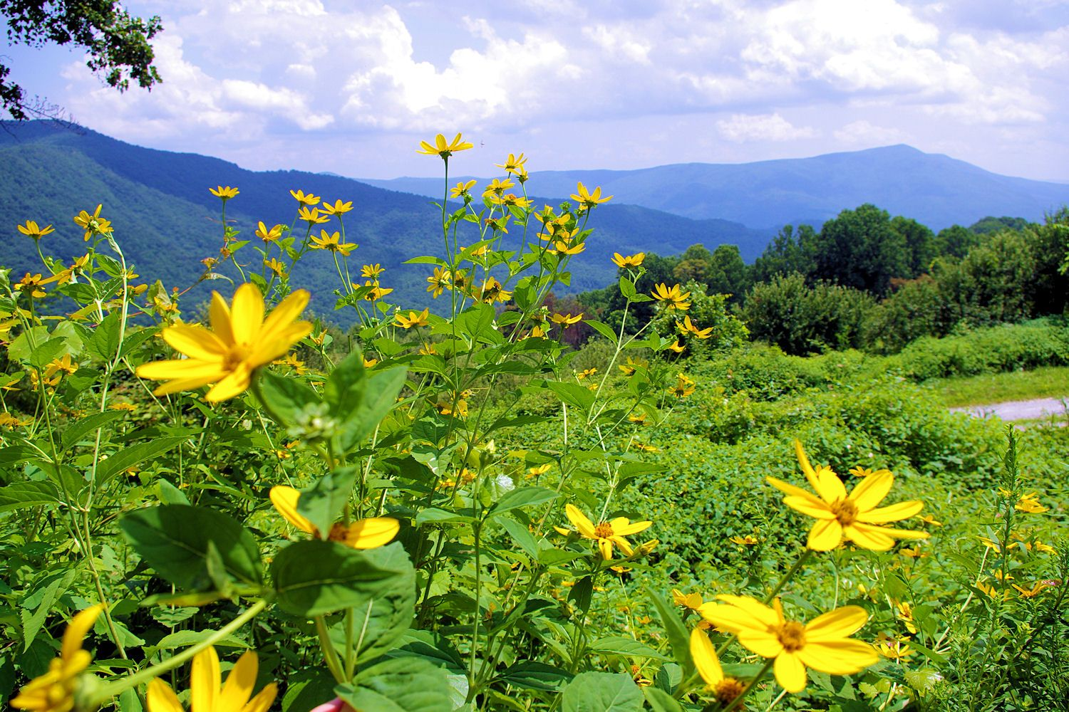Beautiful summer day with flowers along the Blue Ridge