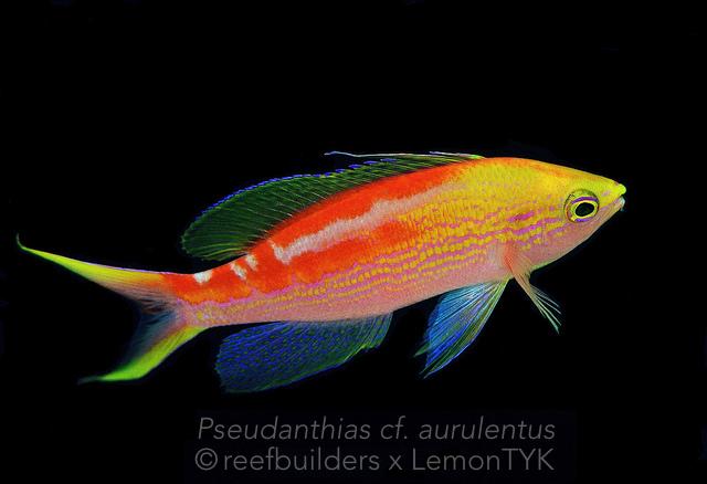 Pseudanthias aurulentus