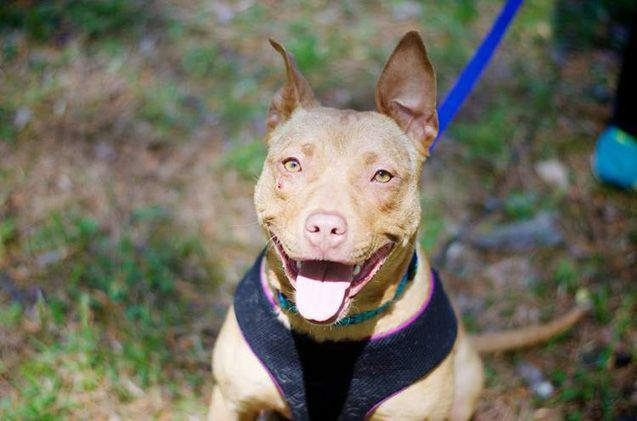 Adoptable Dog Of The Week Marigold Pitbull Terrier Dogs