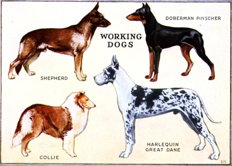 Working Dogs Working dogs, Working dogs breeds, Dog