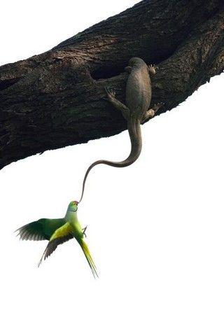 Quando este periquito voltou para seu ninho em uma árvore do Parque Nacional de Keoladeo, na Índia, encontrou este largarto e decidiu recuperar sua casa. Foram só alguns segundos para que o fotógrafo Ganesh H. Shankar registrasse este momento incrível!