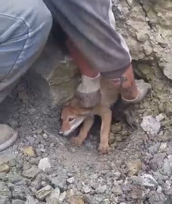 Little Coyote Is Stuck In A Collapsed Den - #Collapsed #Coyote #den #formen #Stück