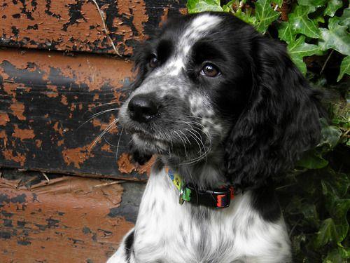 My Dog Moon May Be The World S Cutest Dog She S A Cocker Spaniel