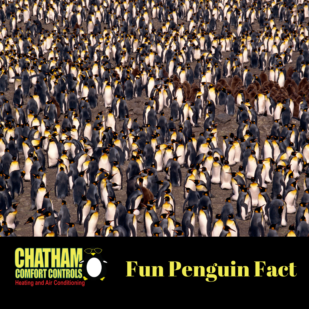 Did you know that all but two species of penguins breed in