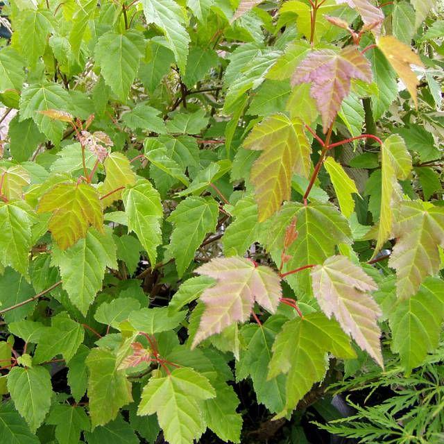 5 Schnellwachsende Sträucher Sichtschutz pflanzen