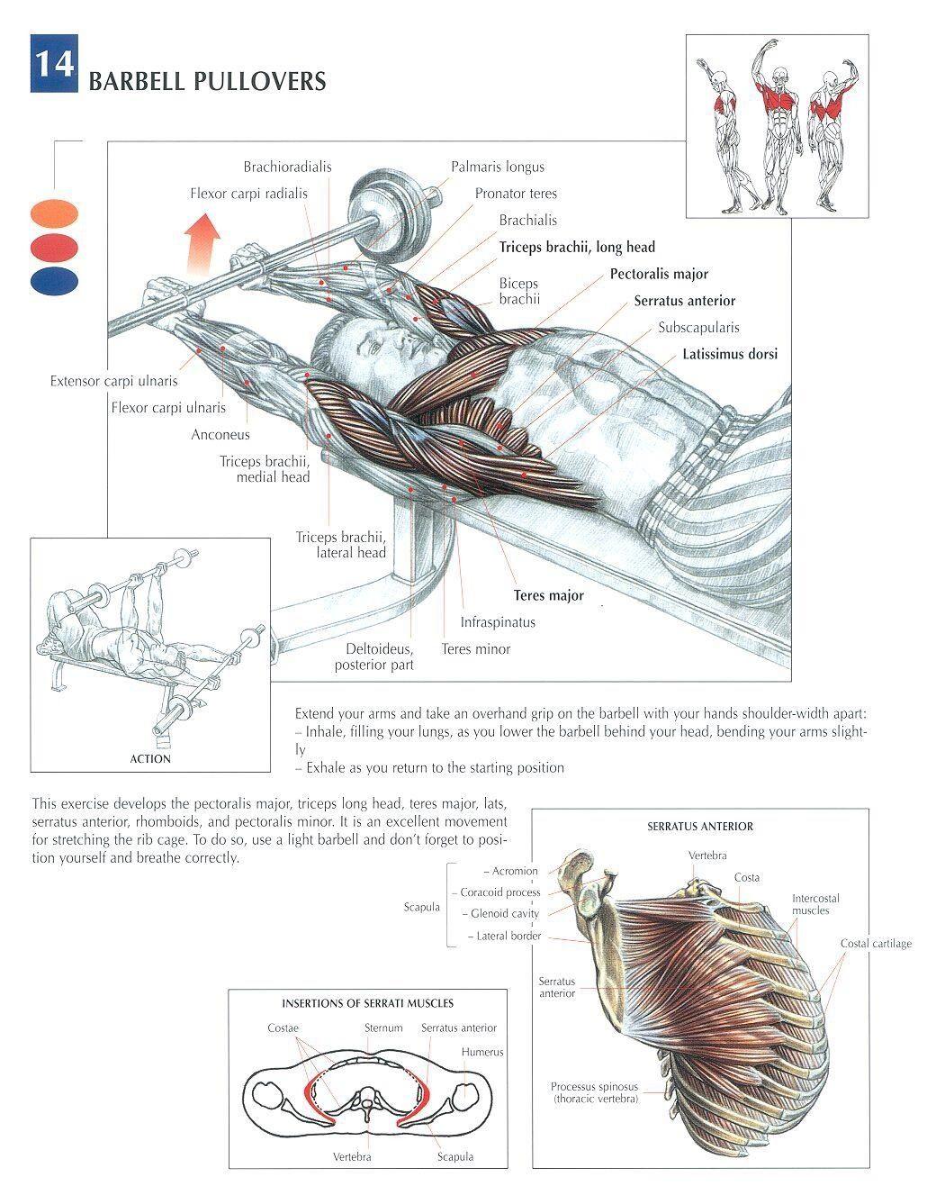 Barbell pullover for Serratus Anterior definition | Fitness ...