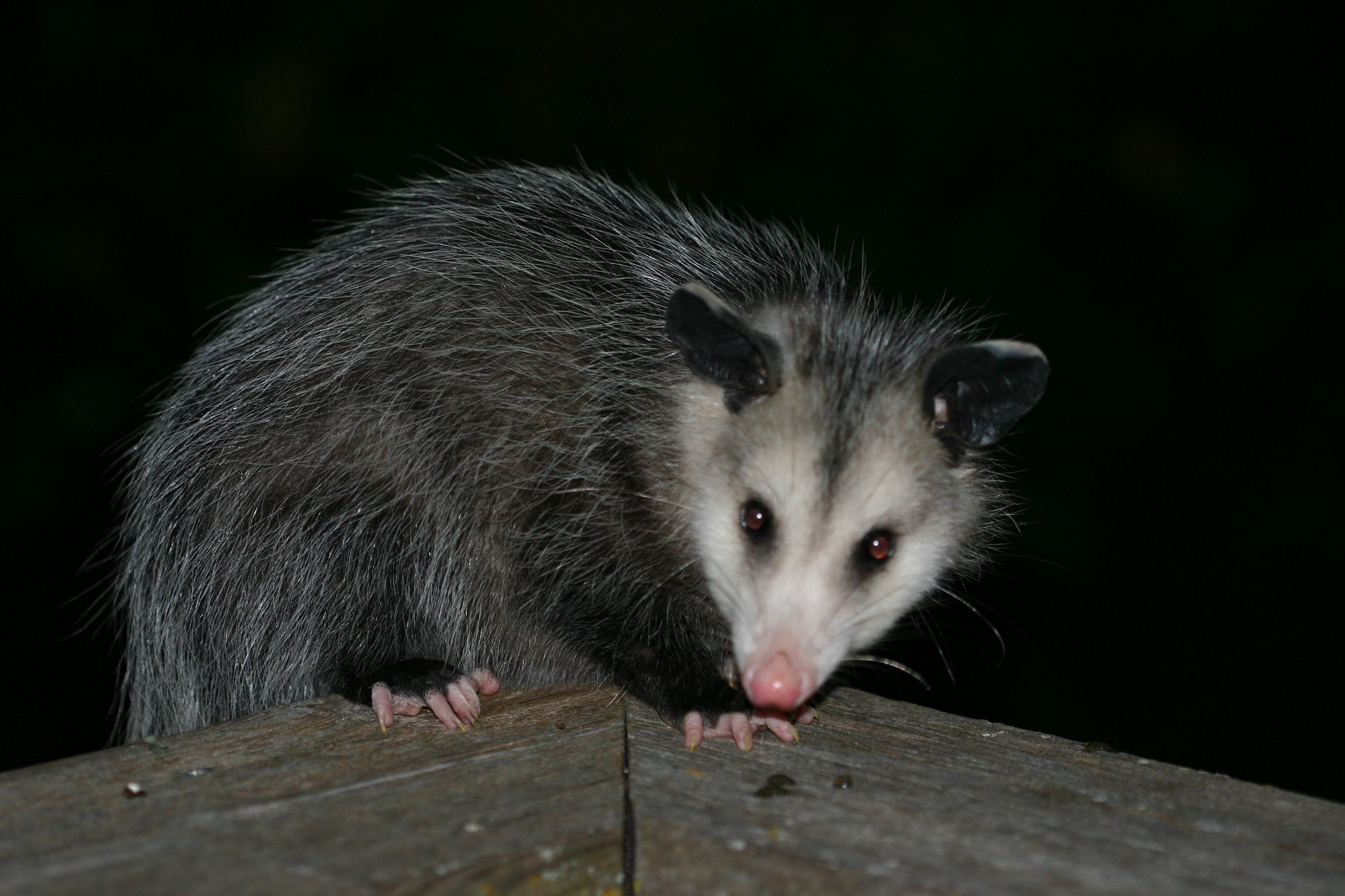 iowa opossum ewww wildlife pictures of mine pinterest