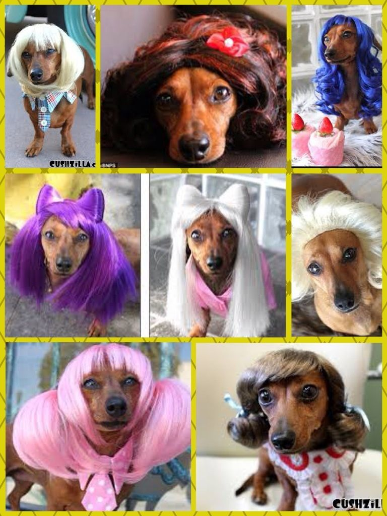 Friday Funday! And what could be more fun than a bunch of doxies in wigs ;) #fridayfunday #doxiesinwigs #lowriders #gracieneedsawig