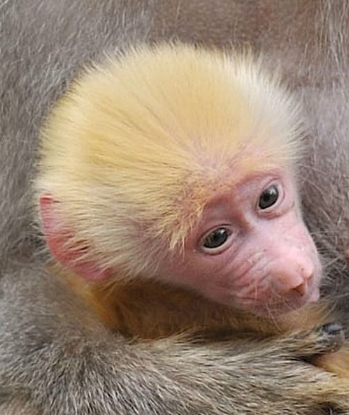 love the fuzzy hair on this rare baby girl red haired baboon