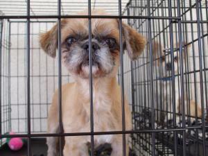 Adopt Tucker On Shih Tzu Dog Shih Tzu Dogs