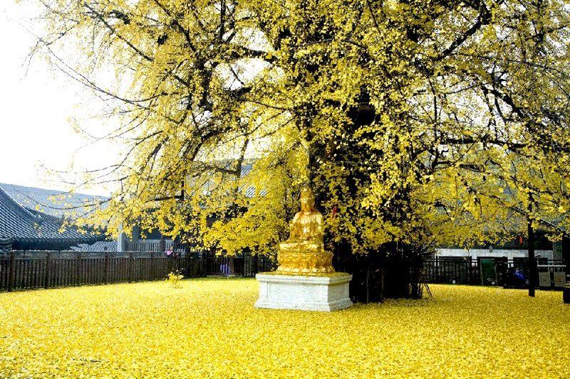 這棵銀杏樹位於西安終南山古觀音禪寺 據傳是當年唐太宗李世民親手栽種 距今已有1400多年歷史 被列為古樹名木保護名 種 西安 南山