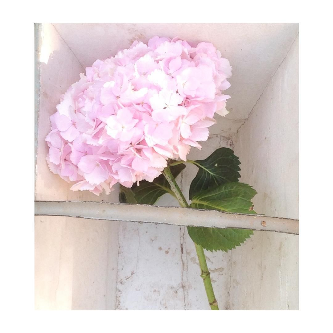 I have some huge pale pink hydrangeas in a pot in the garden, I've snipped one to bring inside