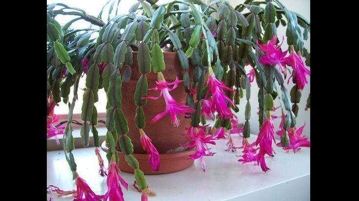 Easter cactus image by Christine Thompson on Houseplants