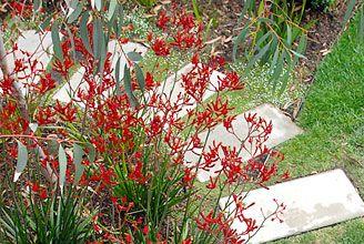 aginozanthas.....busco estas plantas