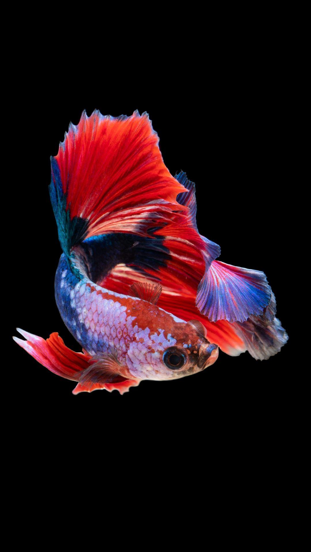Siamese Fighting Fish Betta Colorufl Fish 1080x1920 Wallpaper Photos Of Fish Animal Wallpaper Fish Wallpaper