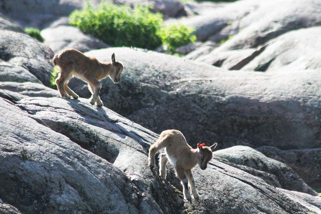 Markhor calves jumping and playing