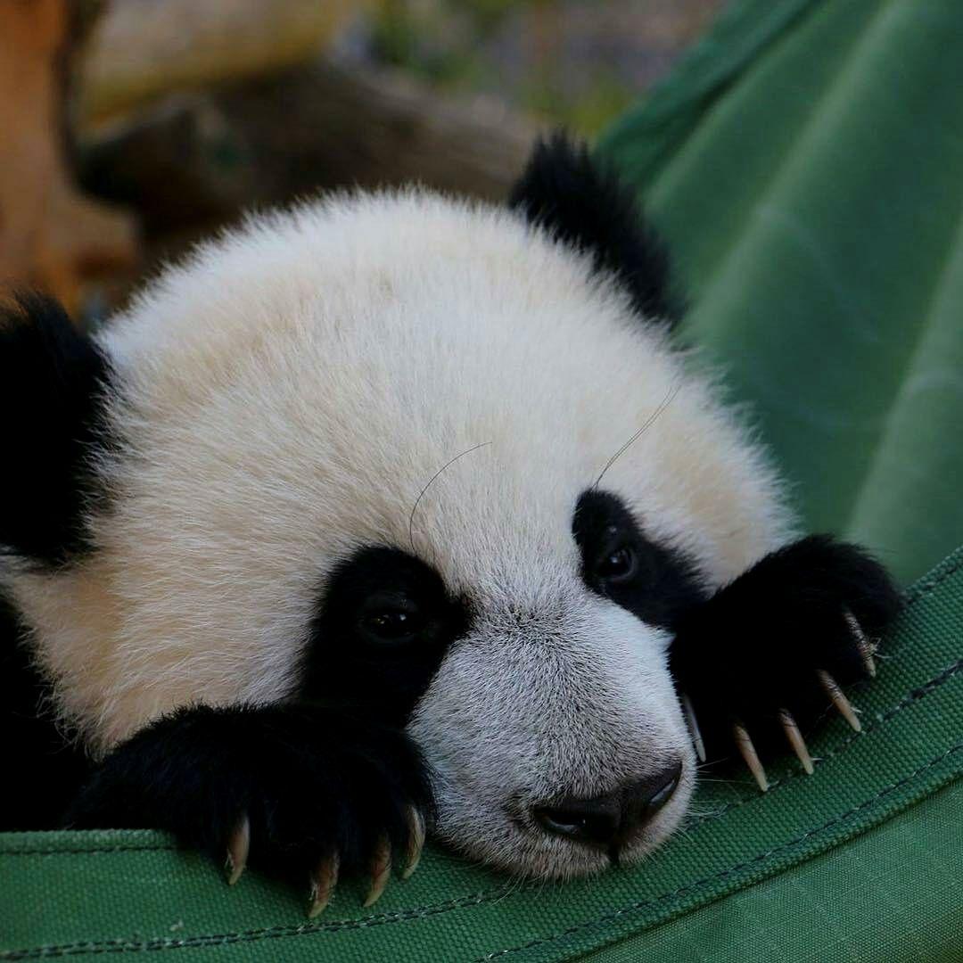 Faulenzen Pandas Faulenzen Panda Bar