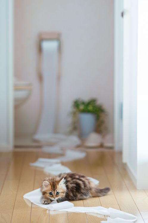 cat and toilet paper..