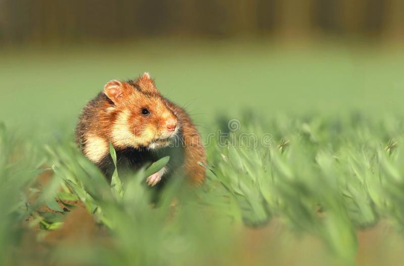 Wild hamster in spring. Wild common hamster Cricetus