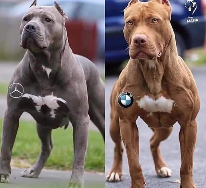 Pin By Raymond Desert On Humour Dogs Pitbull Art Dog Lovers