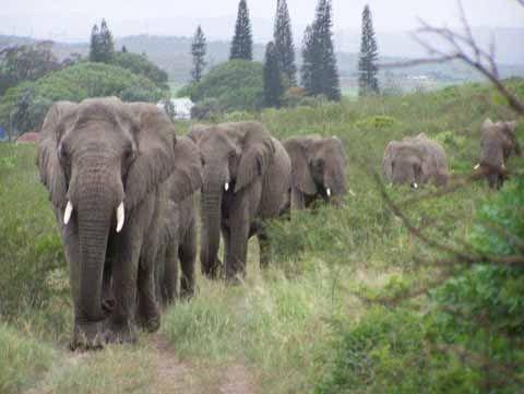 "Elephants mourn the passing of ""the elephant whisperer."""