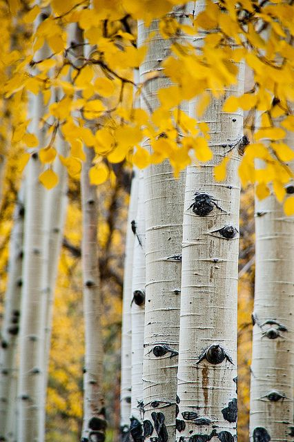 Aspen Grove Aspen Trees Photography Aspen Trees Painting Tree Photography Background image blur in html