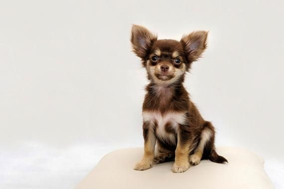 Chihuahua Dog Chiwawa Dog Information Chihuahua Dogs Cute
