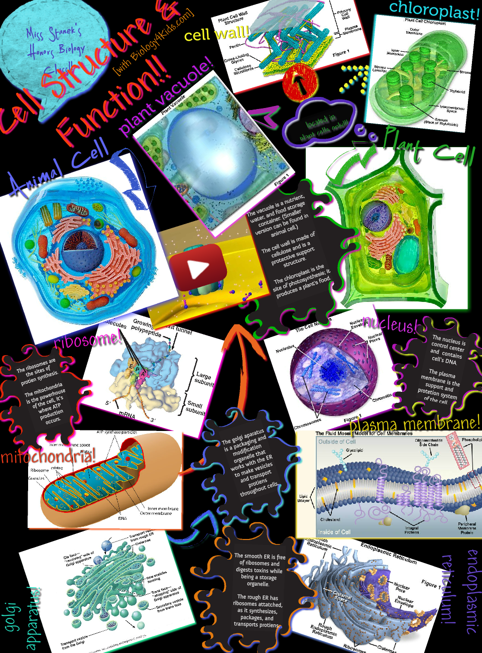 Many types of prokaryotic and eukaryotic cells have a cell wall. The cell wall acts to protect the cell mechanically and chemically from its environment, and is an additional layer of protection to the cell membrane. Different types of cell have cell walls made up of different materials; plant cell walls are primarily made up of pectin, fungi cell walls are made up of chitin and bacteria cell walls are made up of peptidoglycan. #Glogster #Biology #Cell