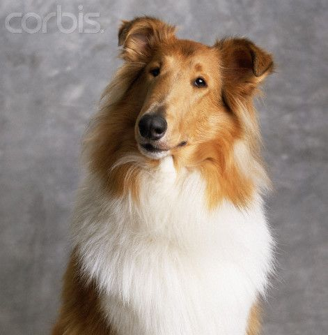 Rough Collie I Wonder If My Treve Would Look Like This Dog If He
