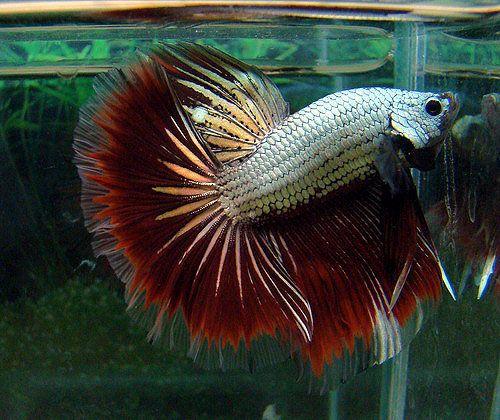 halfmoon butterfly betta fish