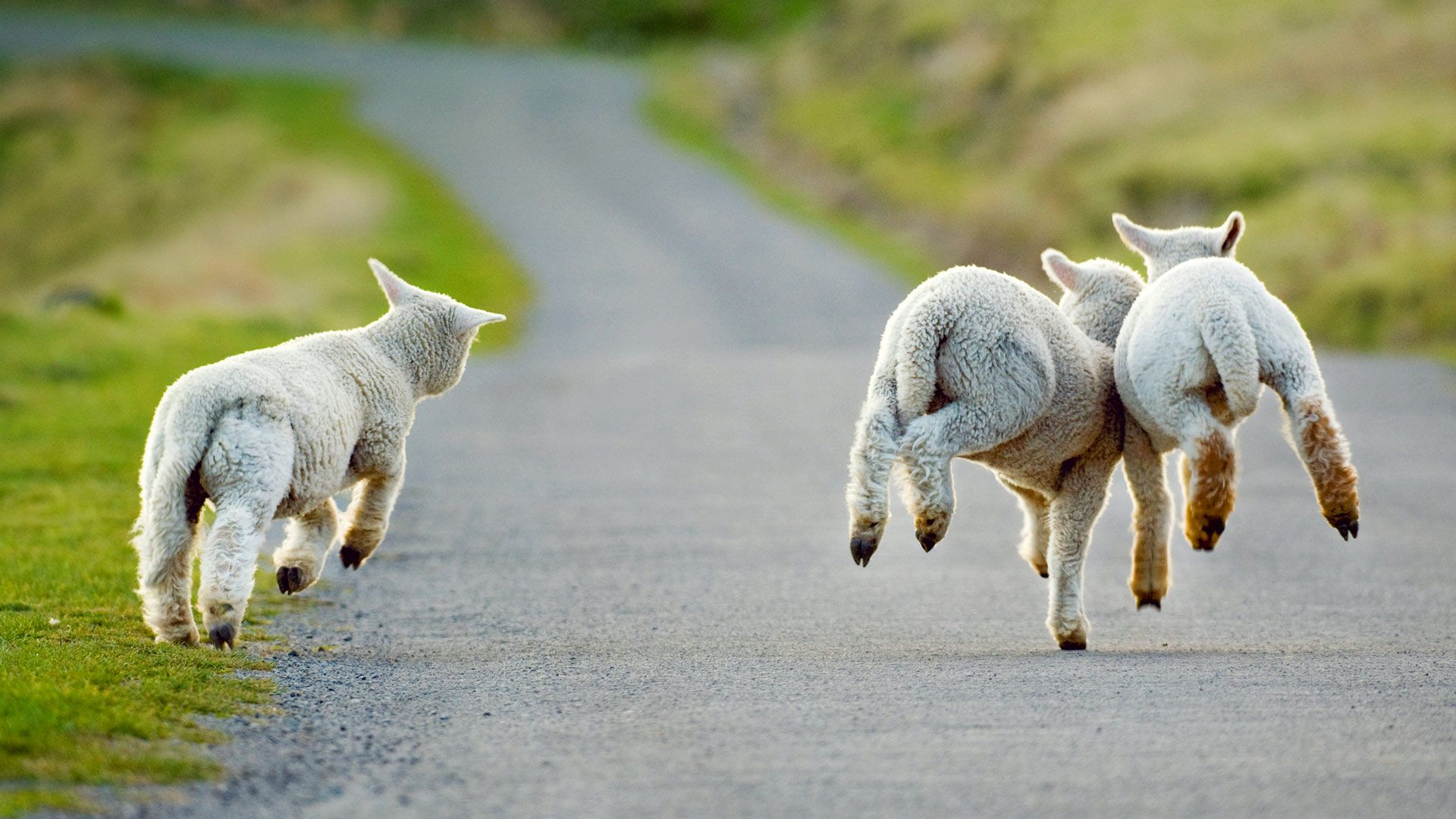 Lambs Frolicking In Christchurch New Zealand Andrew