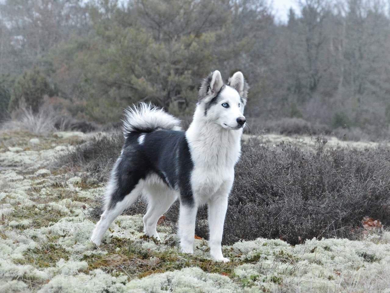 Yakutian Laika Working Dogs Cute Animals Beautiful Dogs