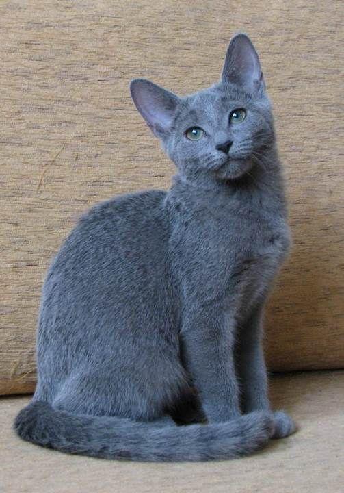 Russian Blue Looks Likeu Frankie Russian Blue Cat Personality