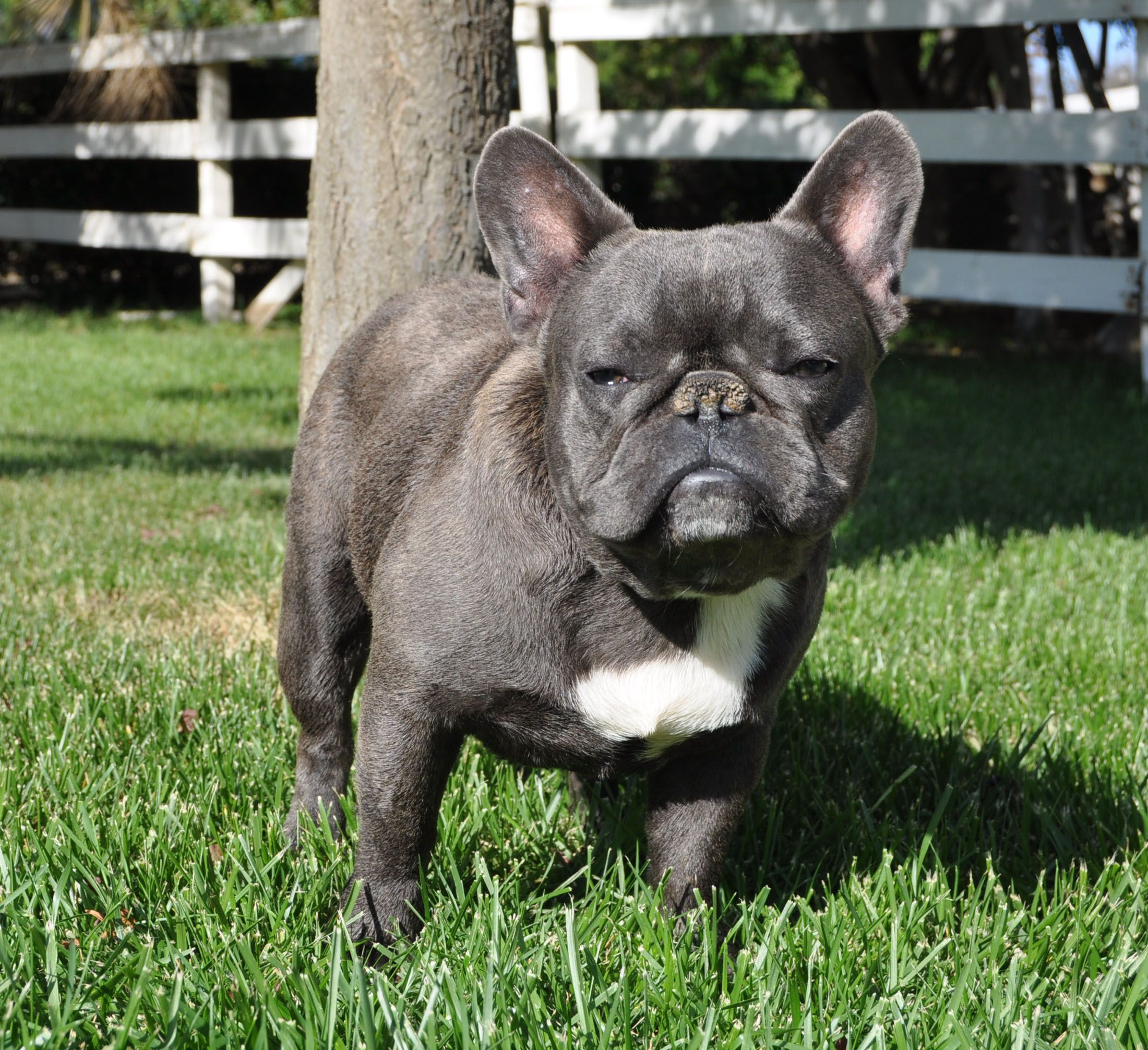 French Bulldog Breeders And Kennels French Bulldog Puppies For Sale French Bulldog Breeders French Bulldog Bulldog