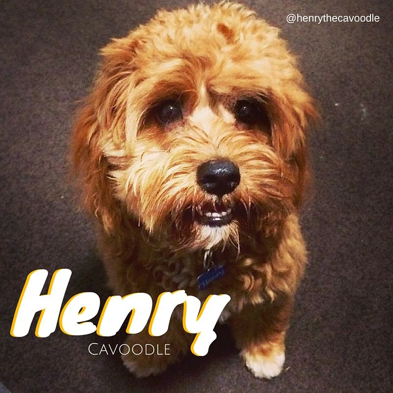 Henry The Cavoodle Puppies 9 Month Olds Animals