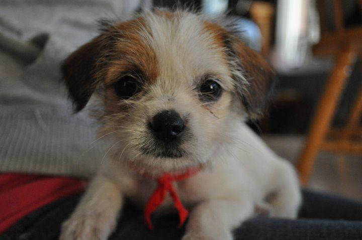 Bella My Jack Russell Shih Tzu Shih Tzu Dog Friends Rat