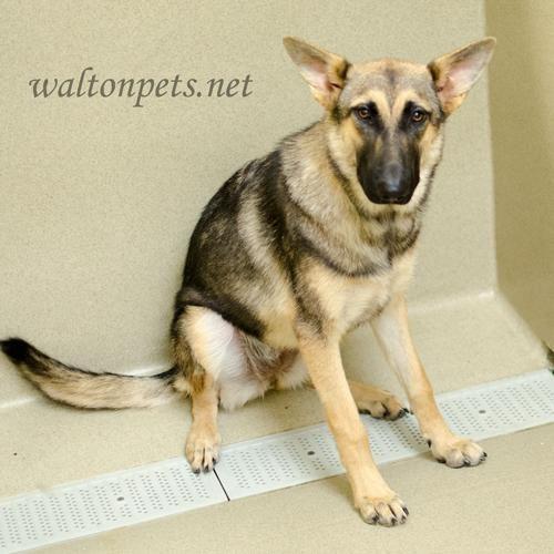 Adopt Angel On German Shepherd Dogs Shepherd Dog Dogs