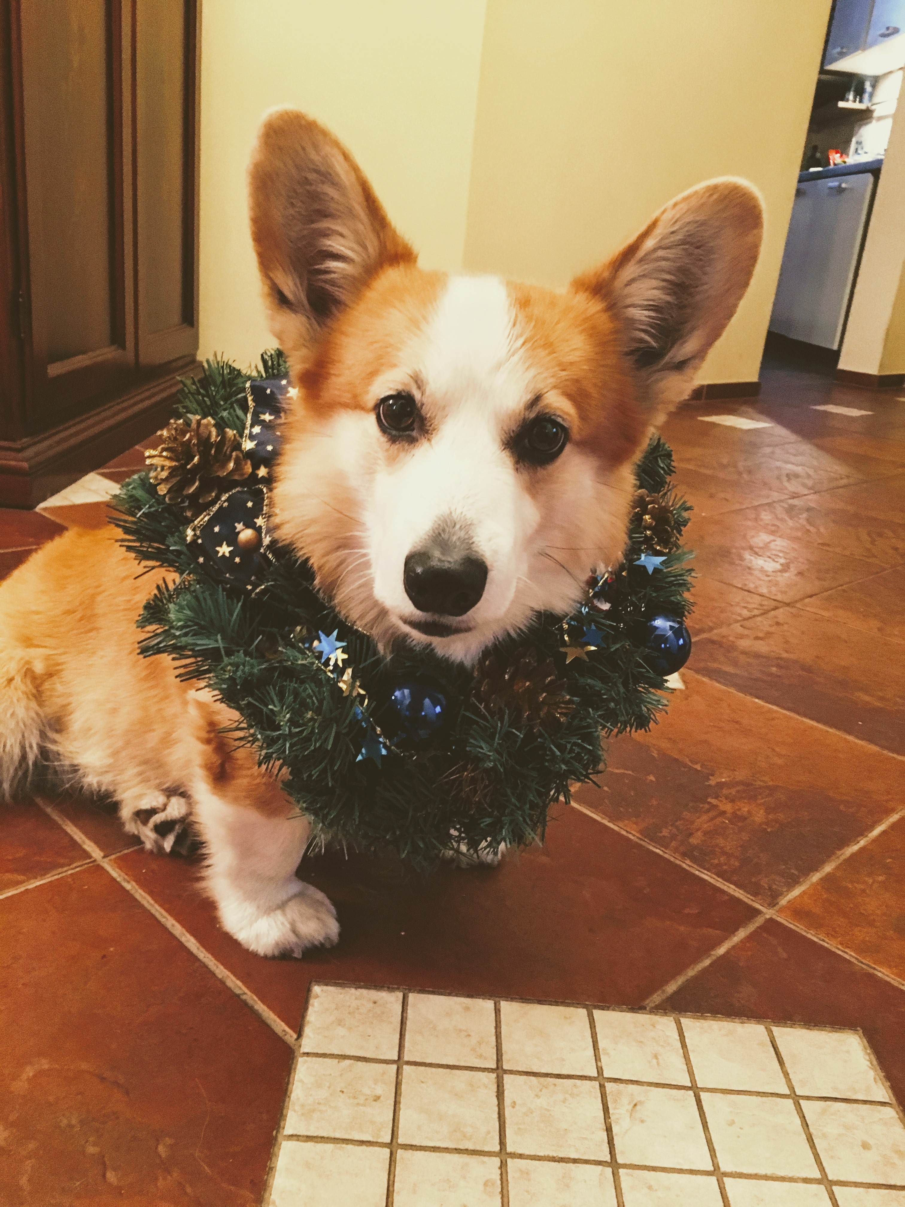 My Dog Merfis Is Getting Ready For Christmas Please Donate Us