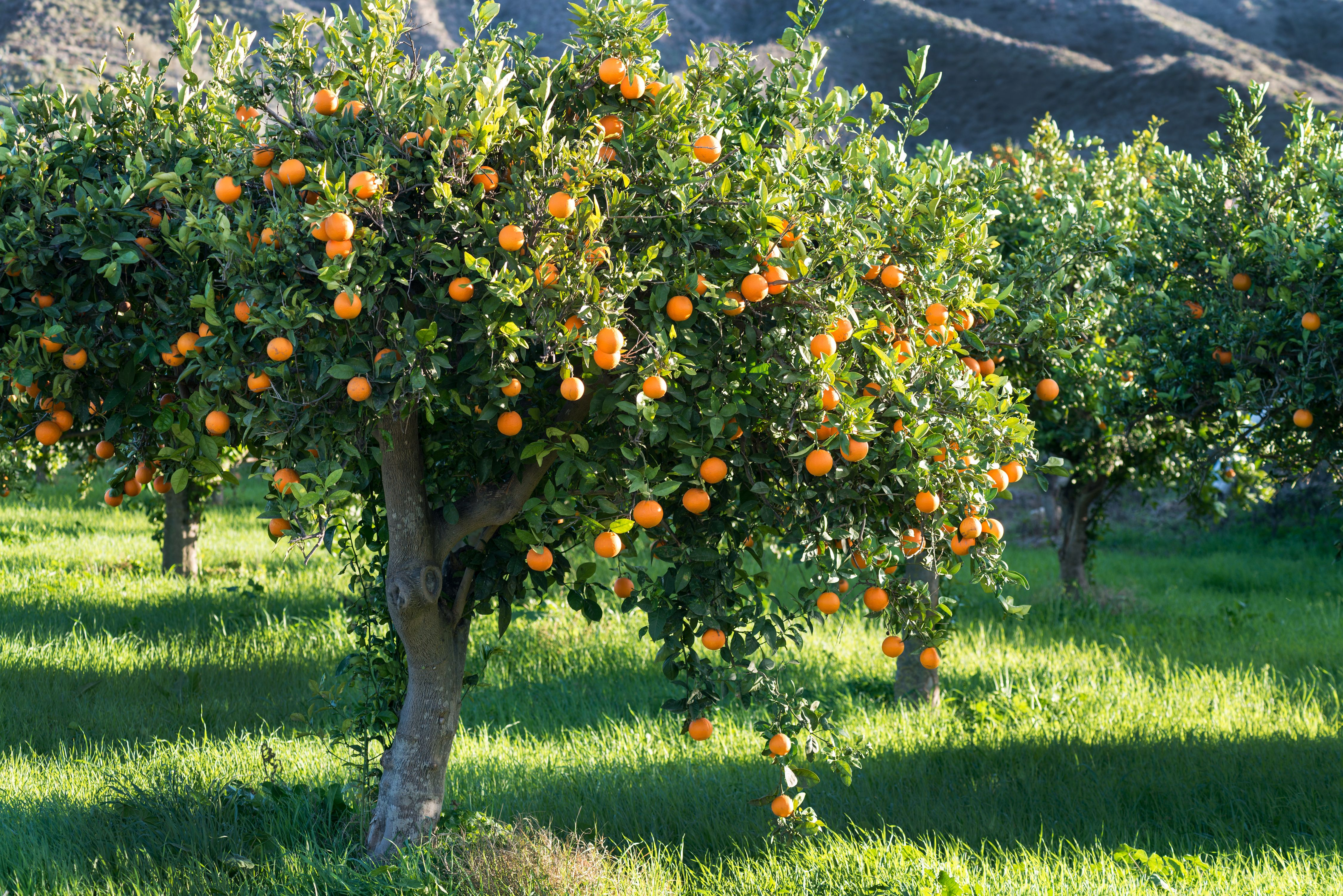 Exotic Fruit Trees: Berry Orange Tree - Oversize