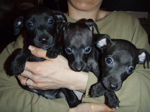 Dogs Puppies For Sale In Northeast Ohio Ebay Classifieds