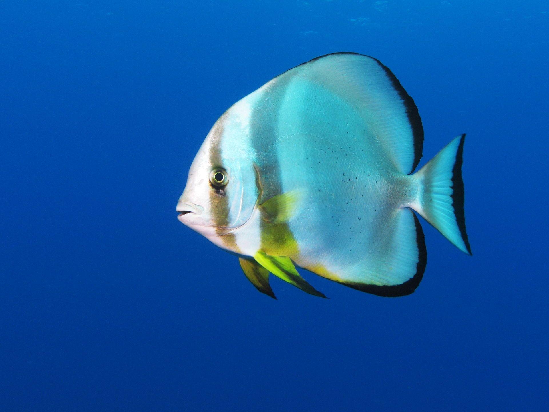 Orbicular batfish by Alexander Vasenin (license: Creative Commons 3.0)