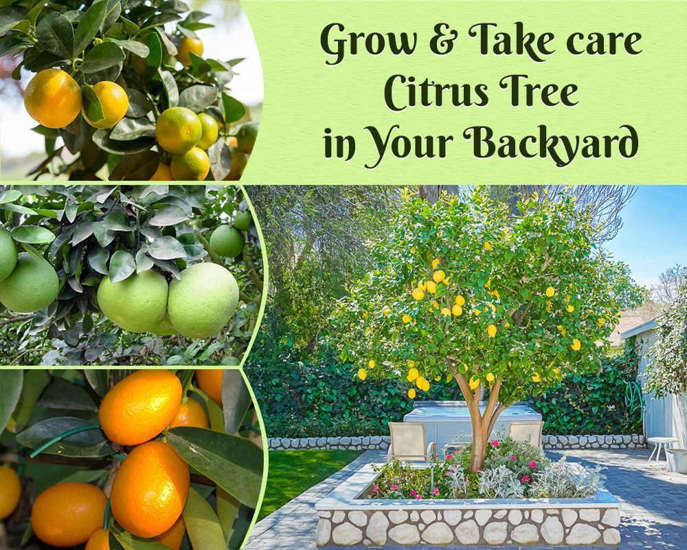 How To Grow Citrus Tree Take Care Of It In Your Garden Citrus Trees Citrus Plant Citrus Garden