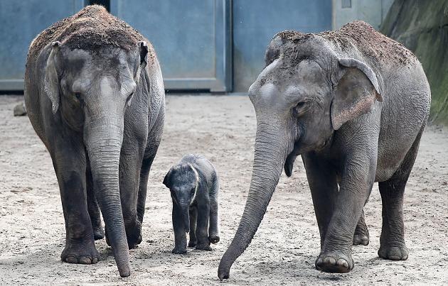 Das Elefantenbaby in Köln erkundet sein Freigehege
