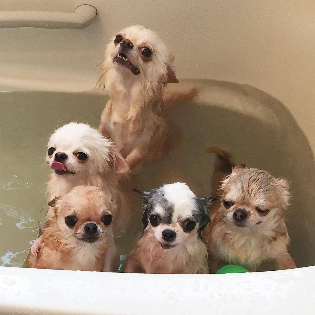 A Bathtub Full Of Applehead Chihuahuas They All Look Related I