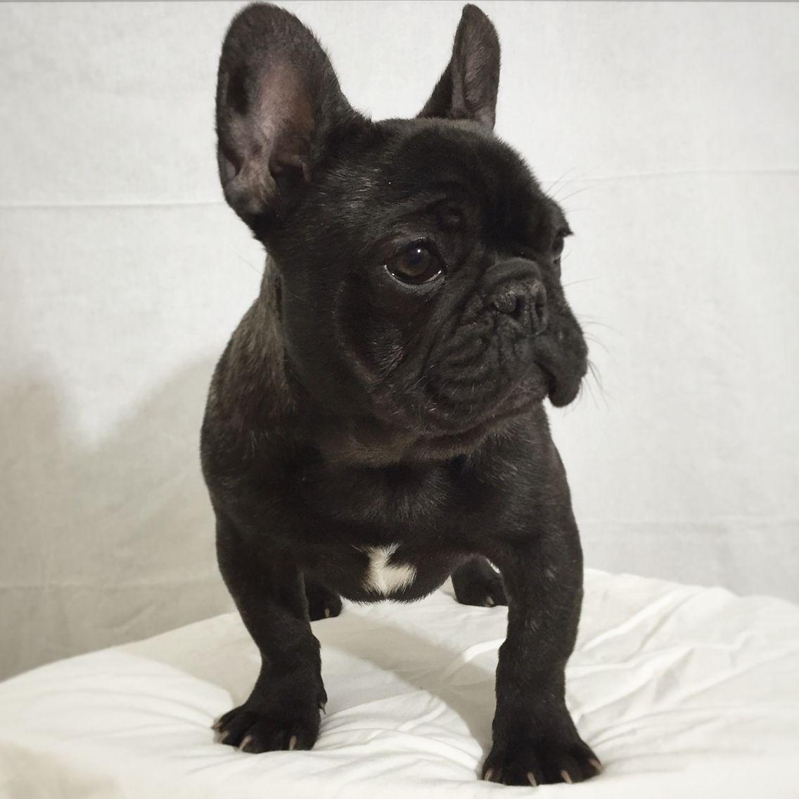 black brindle french bulldog   brindle french bulldog, cute